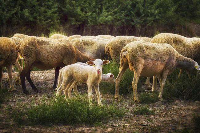 Las ovejas dicen, ¿qué?
